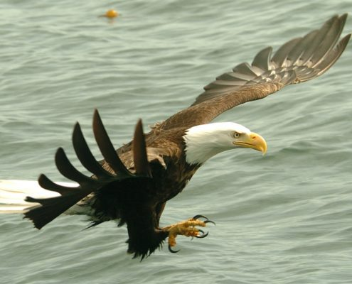 see eagles at Canadian Fishing Lodges