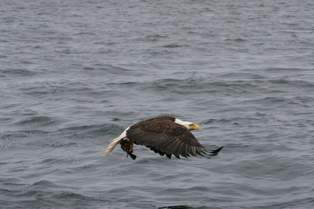 west coast fishing expedition wildlife - bald eagle with catch